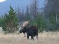 Bull Moose Fall.jpg